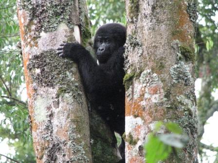 game-parks-gorillas-2013