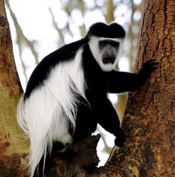 Colobus monkey in a tree