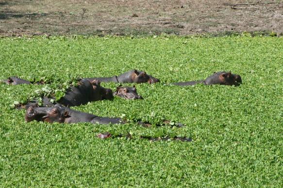hippo-sth-luangwa.jpg