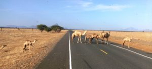 Camels on a desert road, Northern Kenya