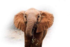 An orphaned African elephant